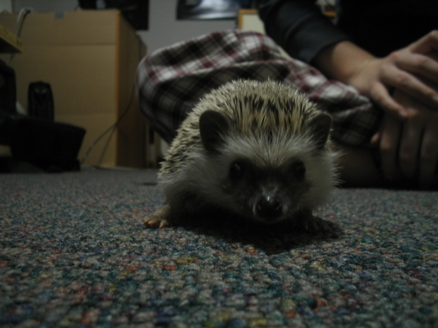 Wikipedia_j_hedgehog